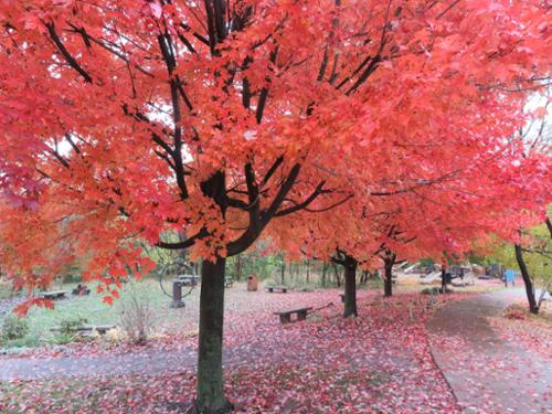 scarlet red autumnal maple trees along the sidewalk